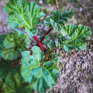 Planting rhubarb in the ground