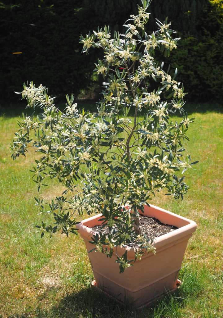 Potted olive tree, still young at this stage.