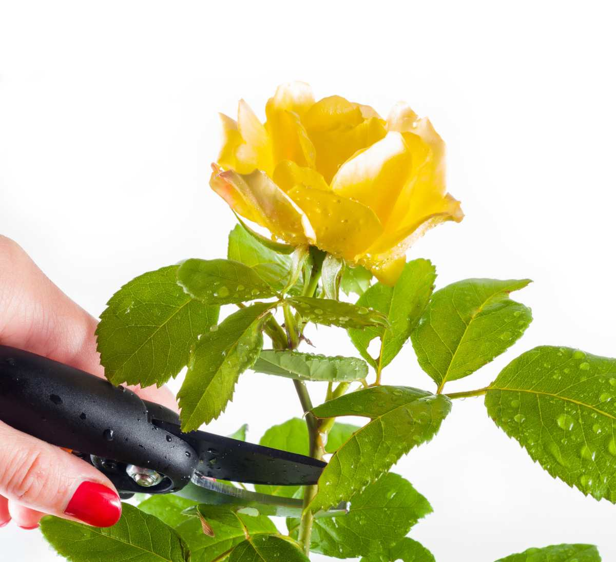 Yellow rose cut and pruned with a secateur
