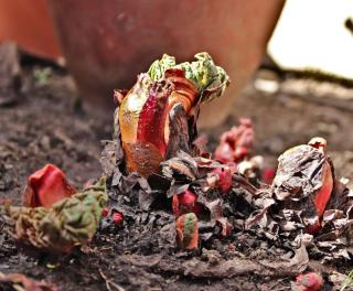 Clump of rhubarb sprouting in Spring