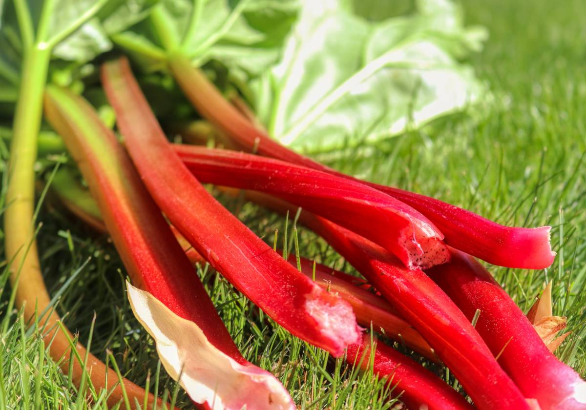 Rhubarb stalks on grass