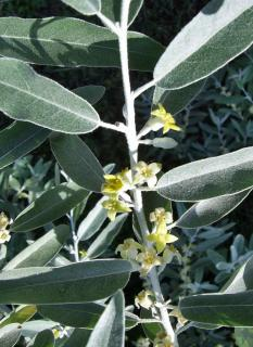 Leaves and flower of the Russian olive tree