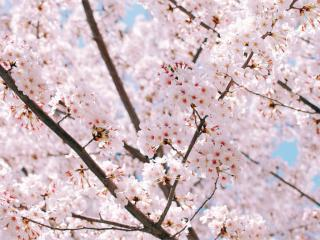 5 trees that bloom in spring, here is the cherry tree.