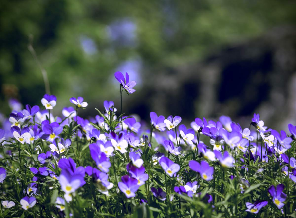 Field of violets in full bloom