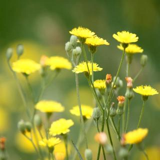 Weeds with health benefits include dandelion
