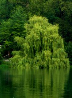 Large willow weeping along the side of a lake