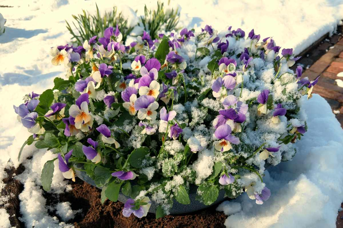 Winter garden box with blooming flowers under the snow