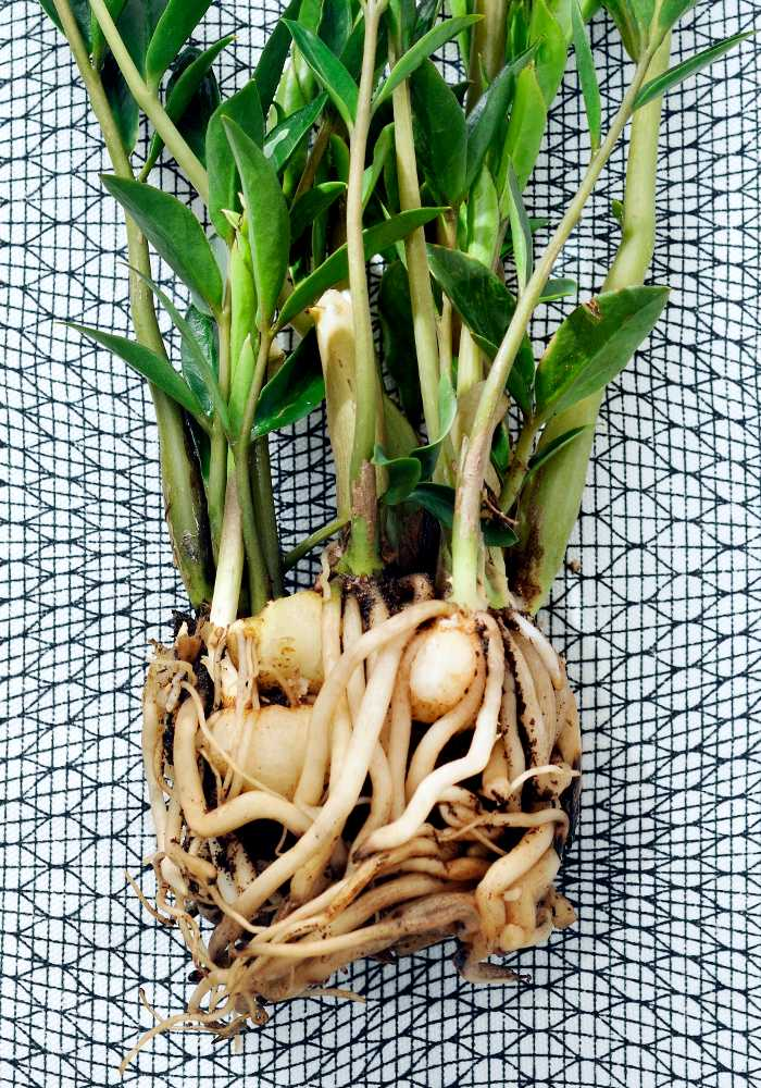 Zamioculcas propagation from dividing the root ball