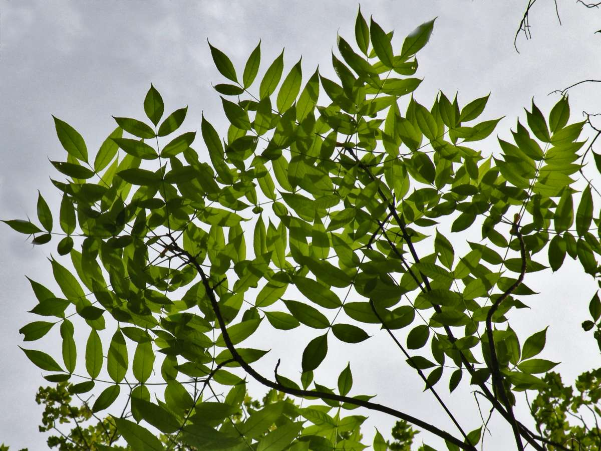 Ash tree leaves outlined against the sky