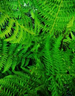 Proper lady fern care for lush growth