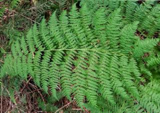 Large Athyrium leaf