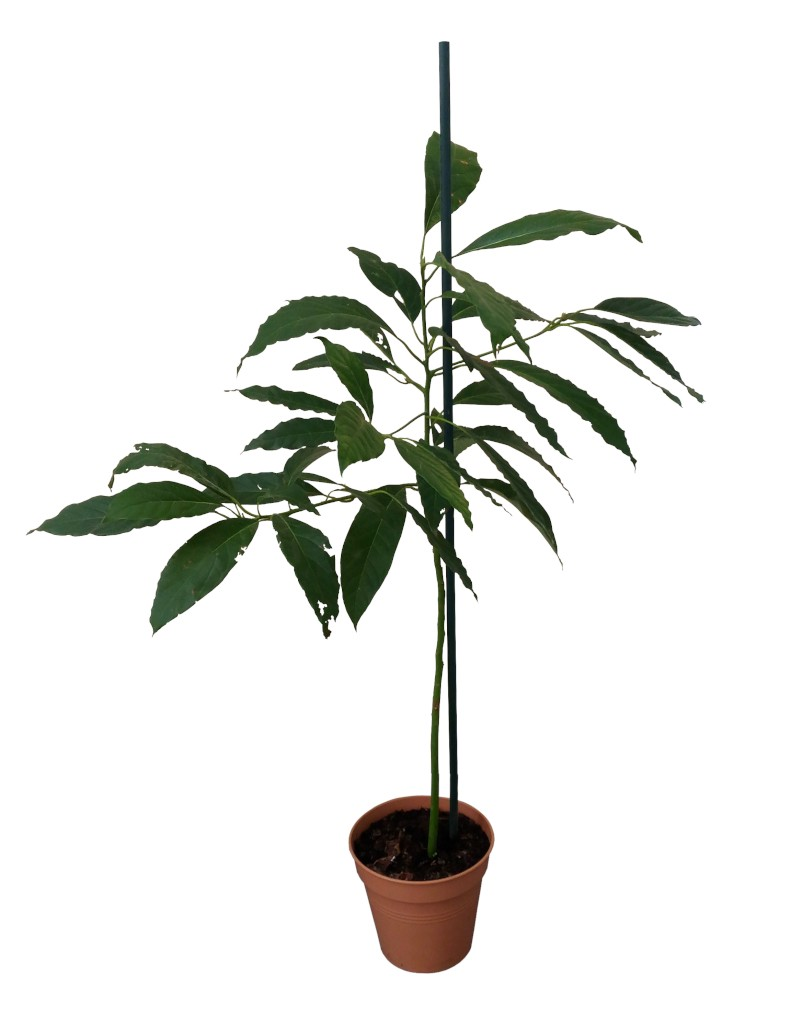 Four foot three-year-old avocado grown from seed in a pot with a white background.