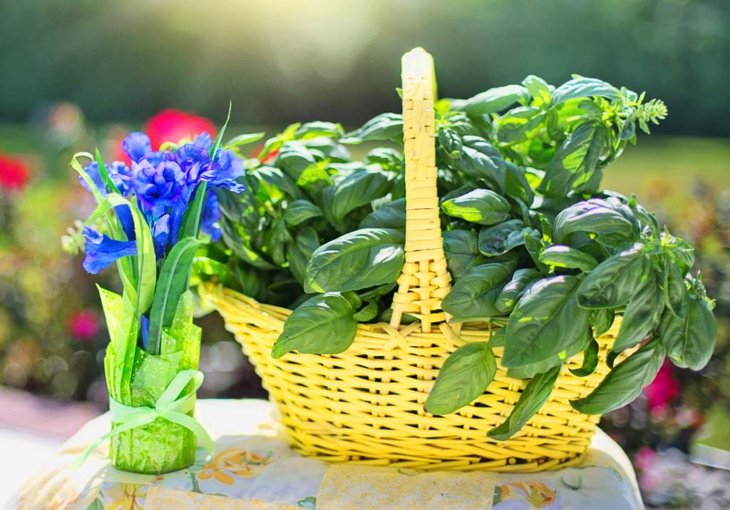 Yellow basket with a healthy basil harvest.