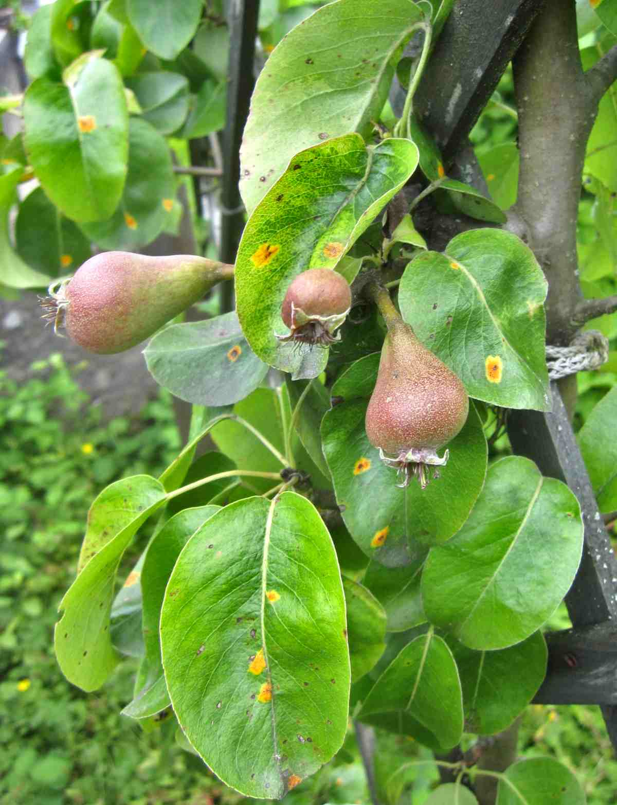 Young beurry hardy pears on tree