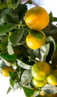 Calamondin bearing red-yellow fruits.
