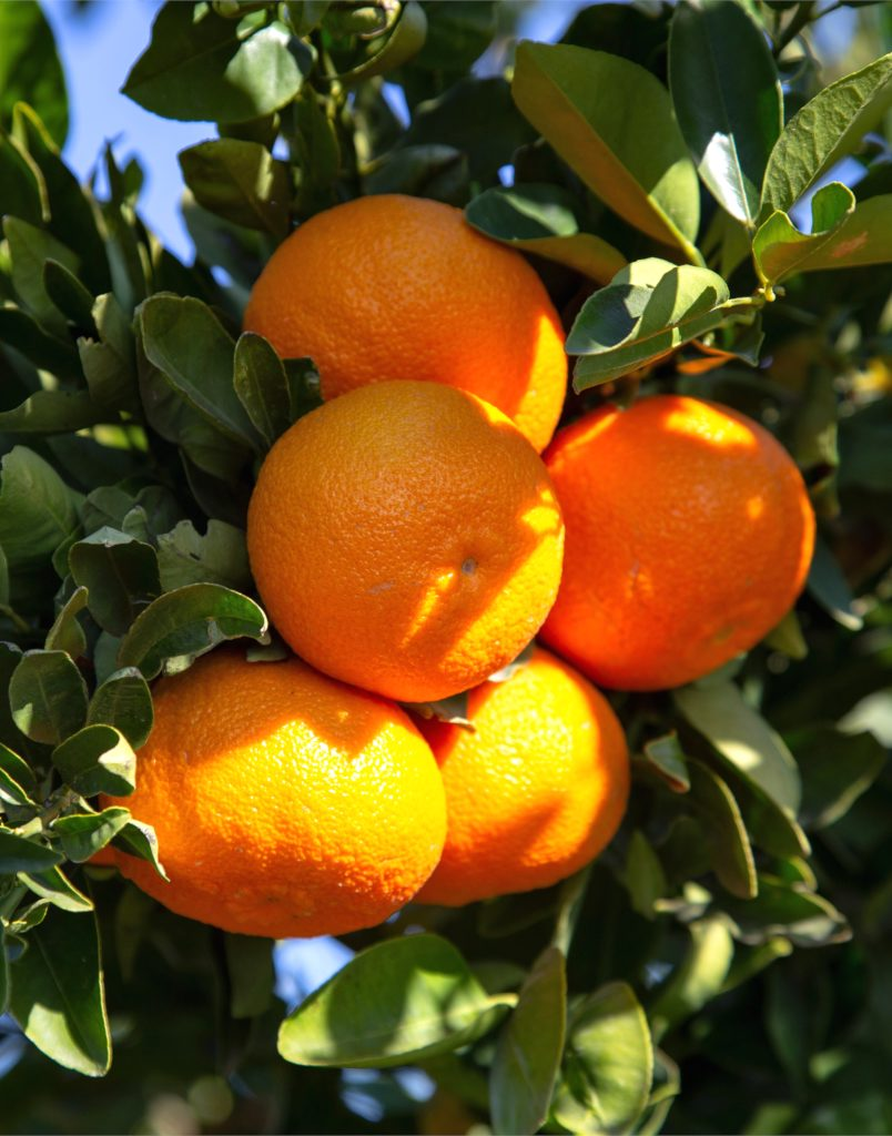 Clementines hanging from a fruiting branch.