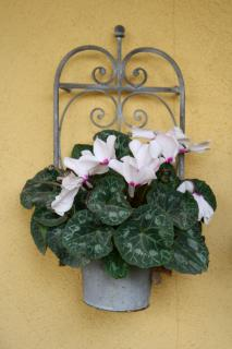 A white-flowered cyclamen growing in a flower pot hanging on a wall.