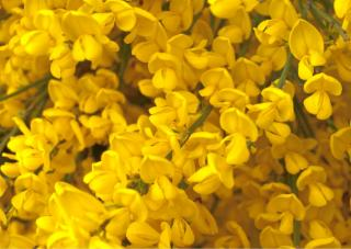 Cover of cytisus flowers