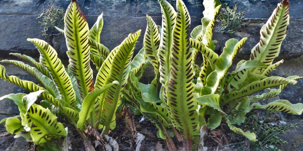 Hart's tongue fern with spore pods