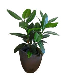 Potted ficus elastica against white background.