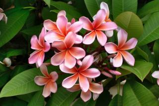 Pink plumeria frangipani