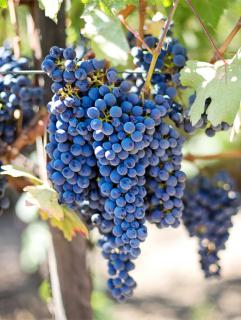 Grapes dangling from the vine.