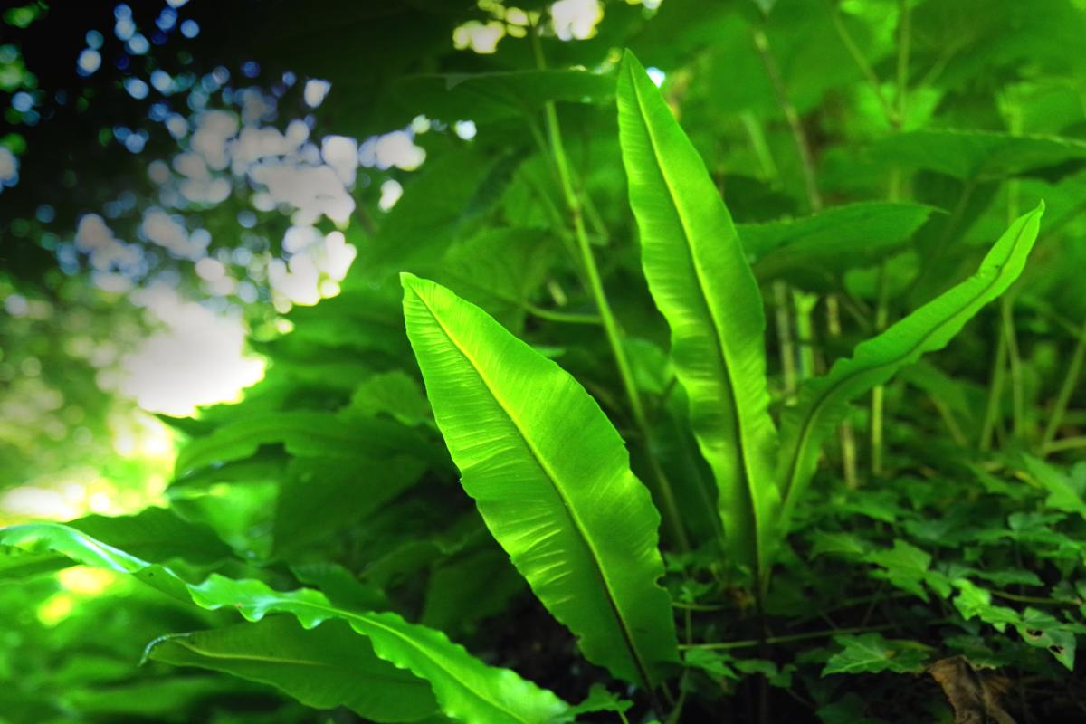 Dreamy fronds of hart's tongue fern