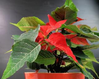 New red leaves appearing among green poinsettia foliage.