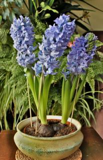 Potted hyacinth, to be transfered outdoors