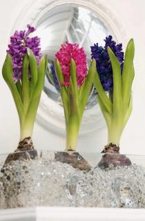 Three blooming hyacinths