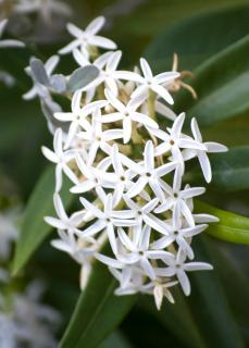 Cluster of white jasmine flowers