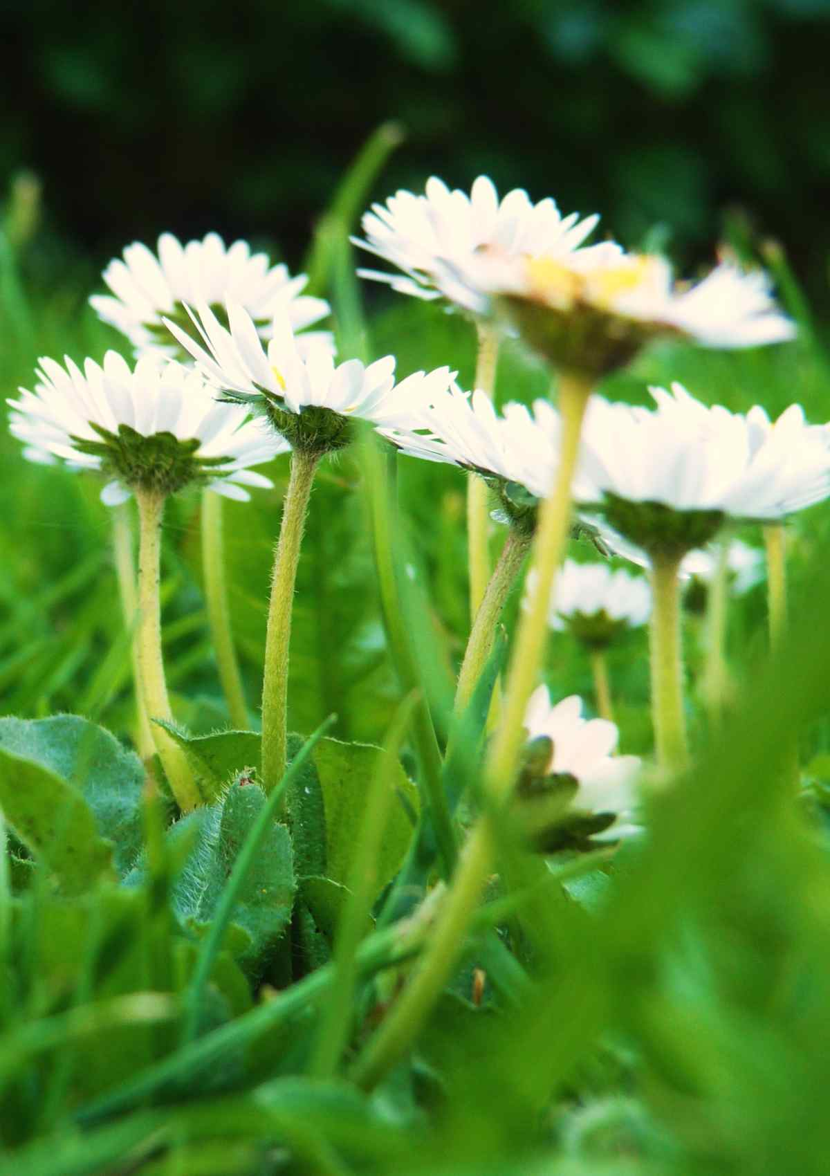 Cute lawn daisies from below