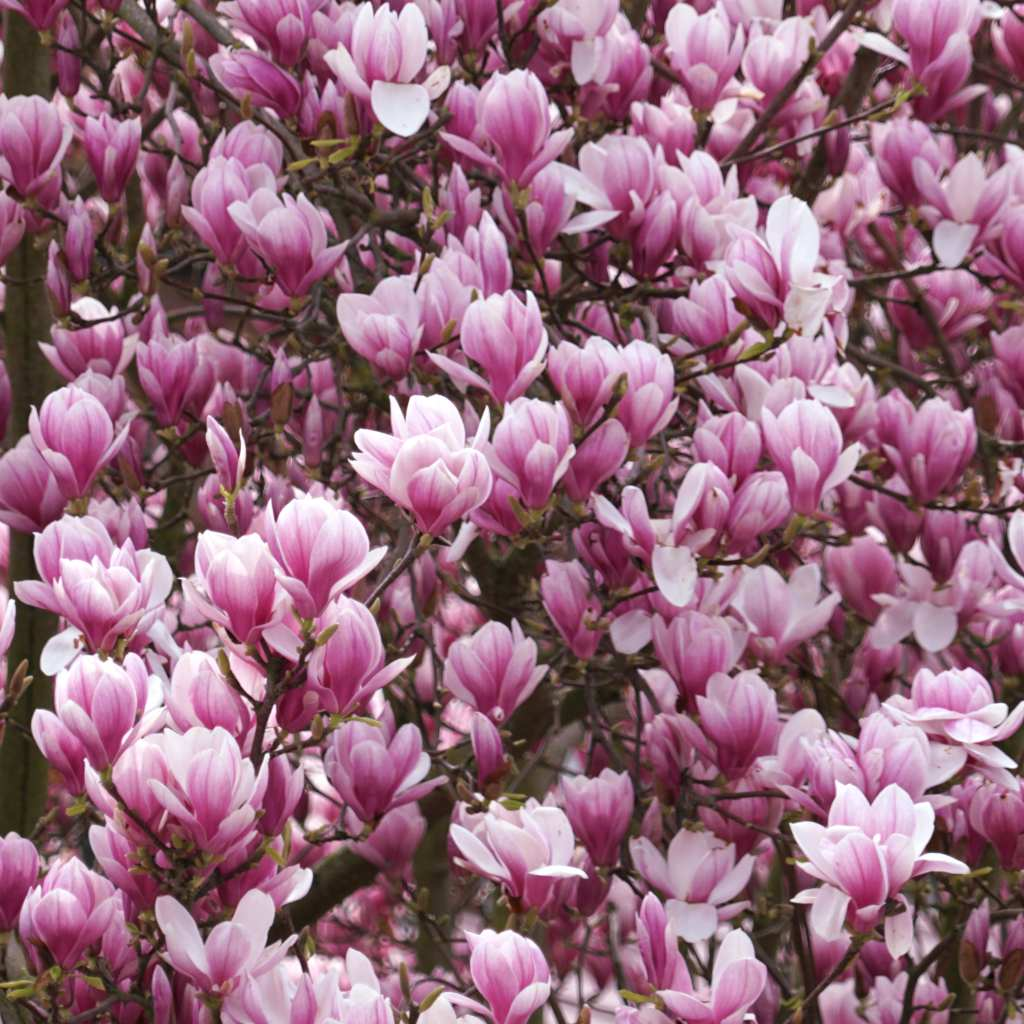Pink magnolia tree blooming in March