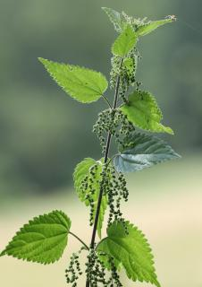 Nettle in full bloom, perfect for making weed tea