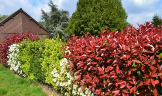 Photinia red robin shrubs as part of a mixed hedge with cherry laurel and hawthorn.