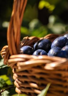 Plum harvest in a basket