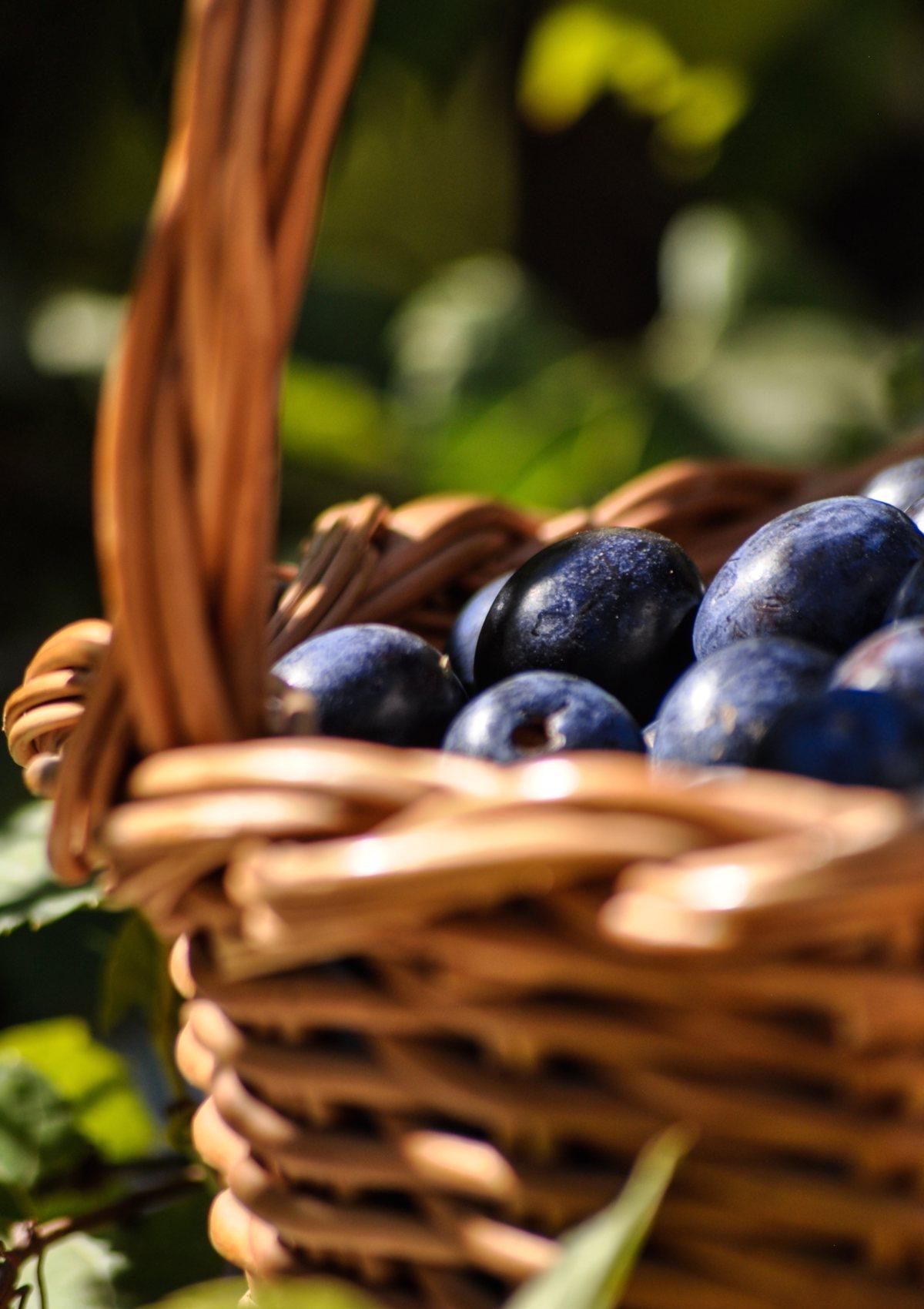 Plum harvest in a basket