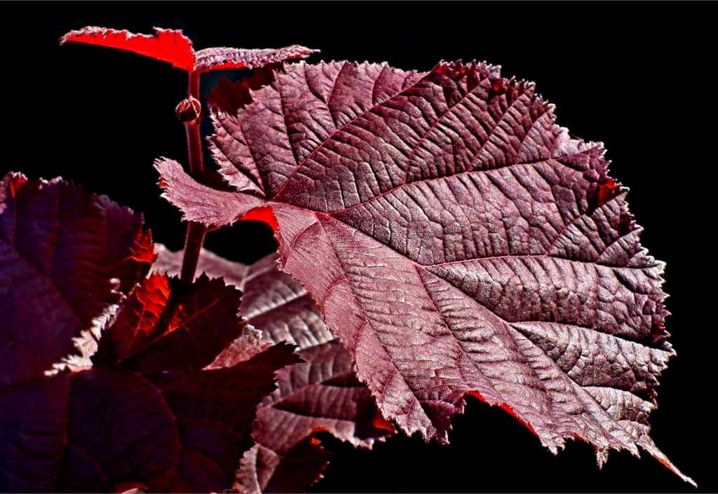 Deep red purple filbert leaf against a pitch black background.
