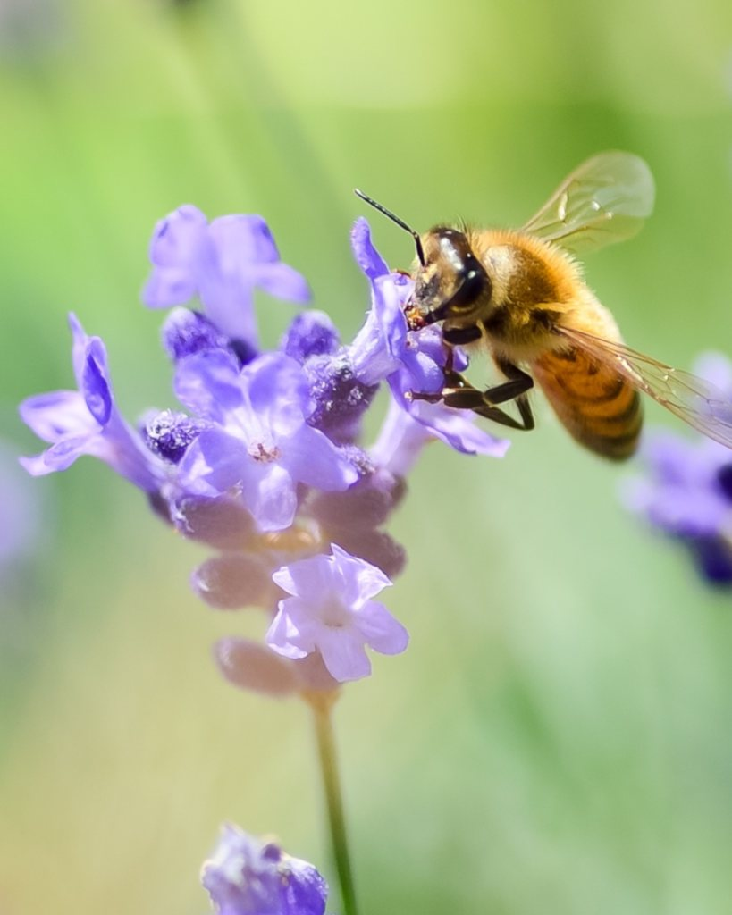 A bee hovers near a lavender flower.
