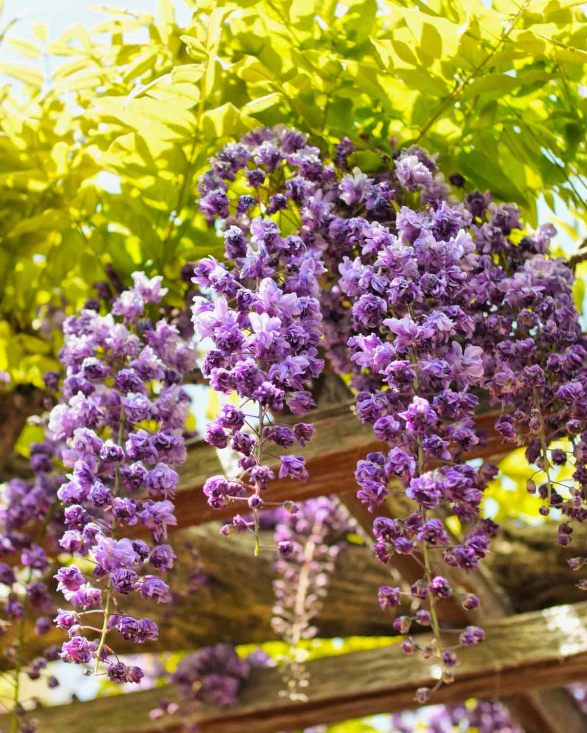Wisteria Growing Pruning And Caring For Wisteria