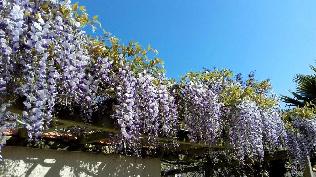 Wisteria vine blooming against blue sky
