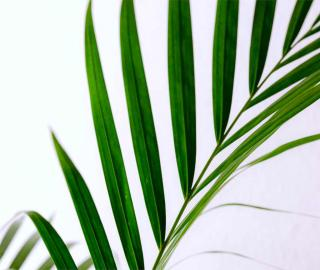 Areca frond against a white background, purifying indoor air.