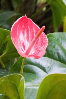 Pink-red anthurium flower blooming.