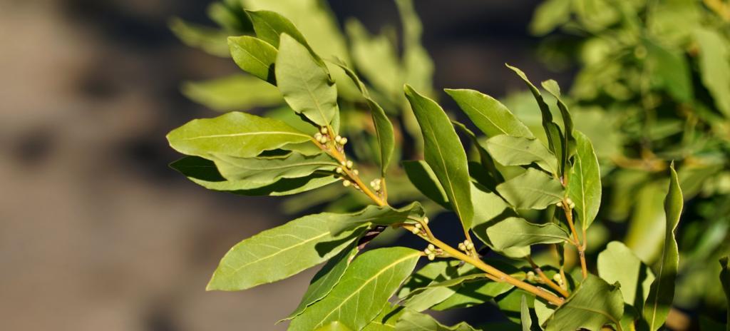 Bay laurel plant