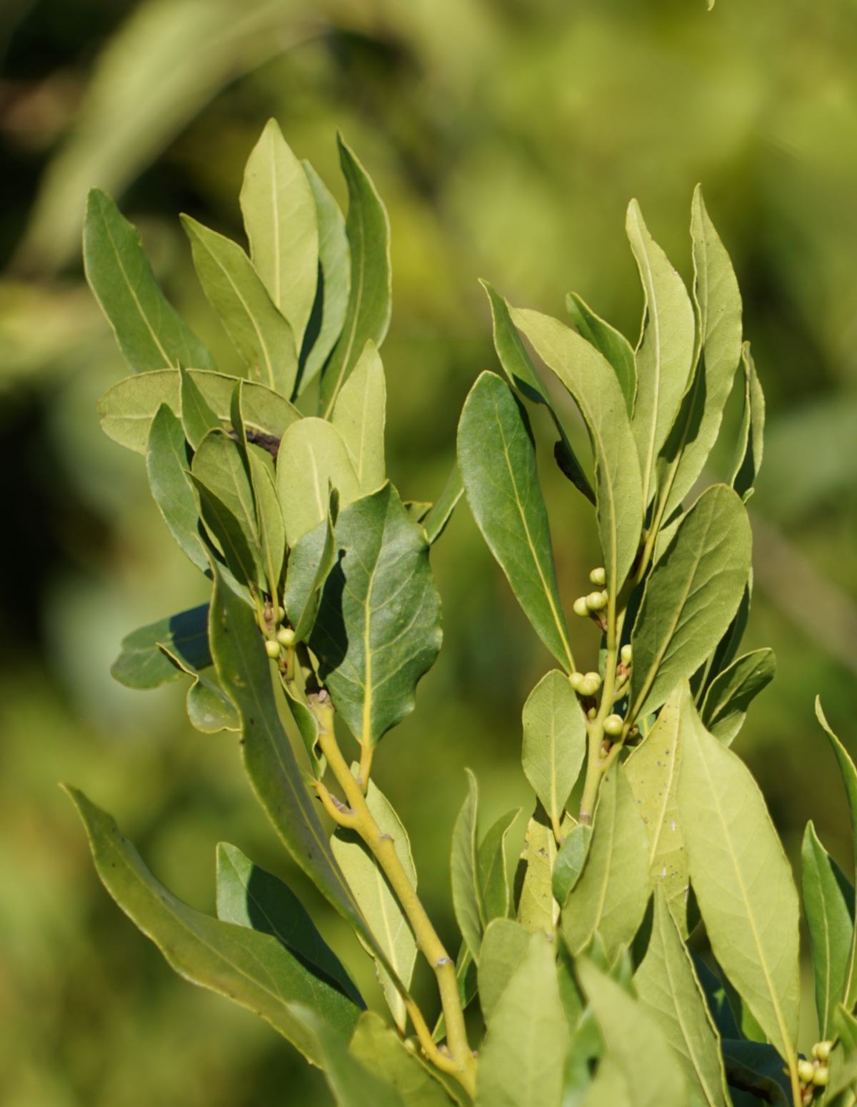 Sprigs of bay laurel against a hazy green background