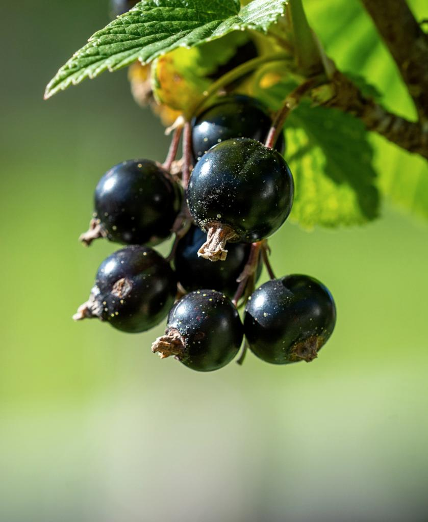 A handful of black currant berries on a branch