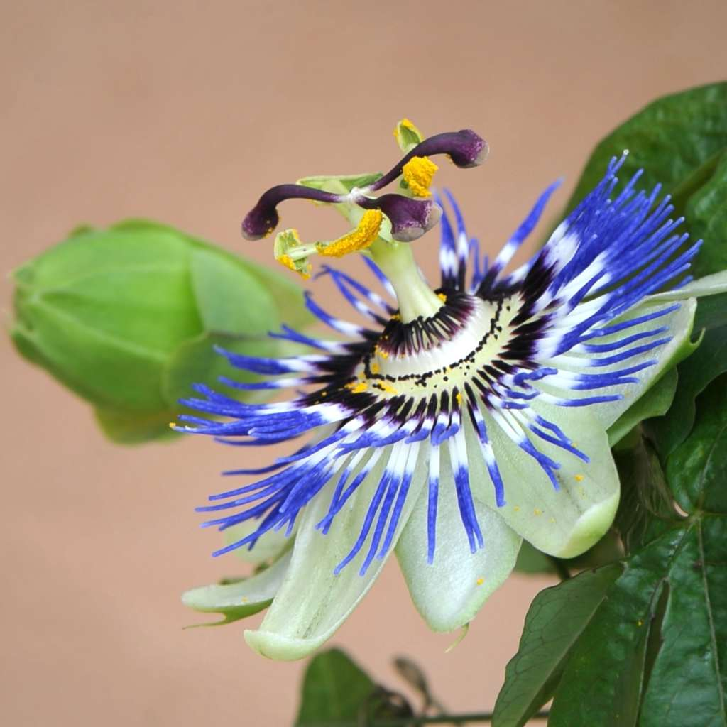 Blue passion flower in full bloom with bud.
