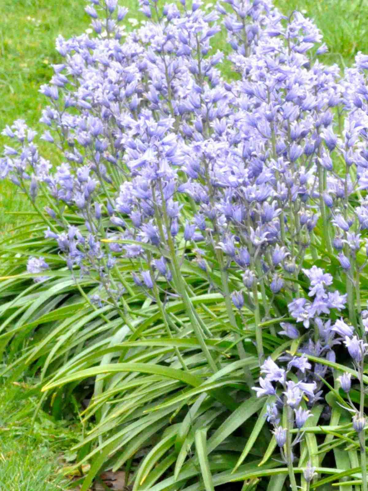 Bluebell clump as an edge near a lawn
