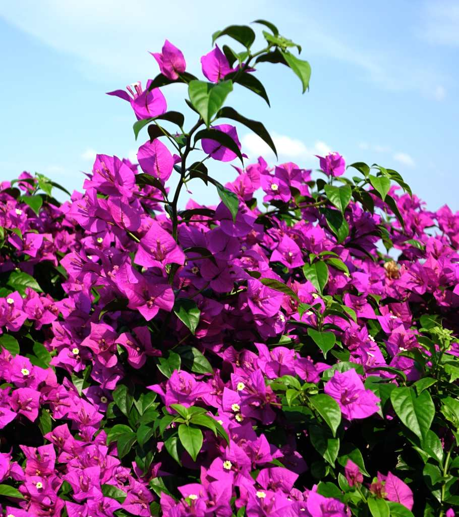 Bright pink bougainvillea flowers shooting for the sky.