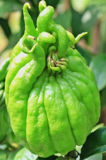 Green Buddha's hand fruit, not yet open.